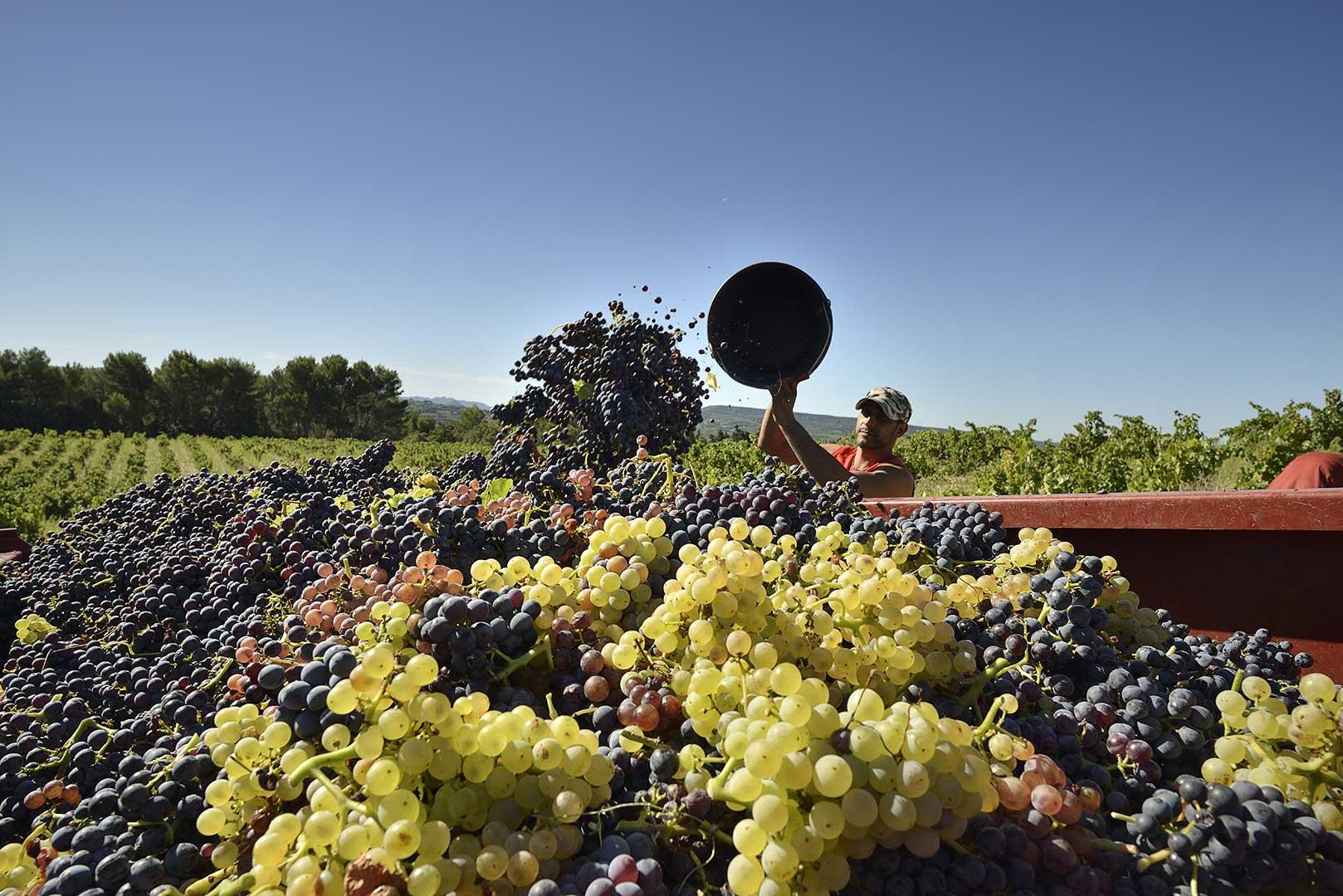 vendanges à la main, raisins blancs et rouges, vendangeur, sud, Vinsobres, photo Emmanuel Perrin